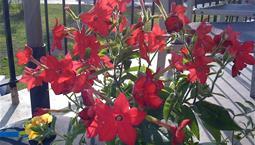 Utomhusväxt med gröna blad och röda blommor.