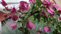 Krukväxt med gröna blad och lila blommor.