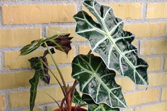 Växt med stora gröna, ådrade blad