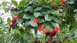 Hängväxt med röda blommor och gröna blad.