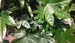 Krukväxt med stora gröna flikiga blad.