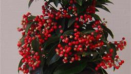 Krukväxt med gröna blad och röda bär i en krans.