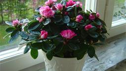 Krukväxt med gröna blad och rosa blommor.
