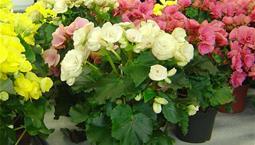 Krukväxt med gröna blad och blommor som kan komma i flera olika färger.