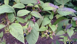 Giftig växt med svarta bär.