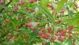 Buske med gröna blad och röda bär.
