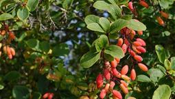 Buske med gröna blad och avlånga röda bär.