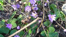Vårblomma med hjärtformade blad och blå blomma.