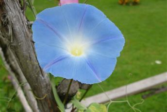Klängväxt med stor blå blomma.