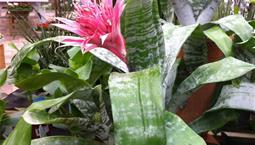 Krukväxt med vassa gröna blad och en stor rosa blomma.