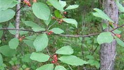Träd med gröna blad och röda bär.