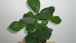 Krukväxt med stora gröna blad.