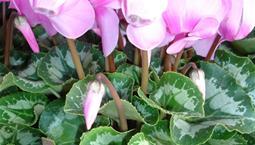 Kruväxt med grönspräckliga blad och rosa blommor.