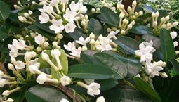 Krukväxt med gröna blad och vita starkt doftande blommor.