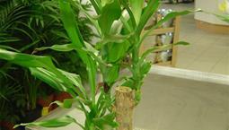 Stor krukväxt med gröna avlånga blad som utgår från en stam.