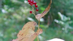 Liten växt med hjärtformade blad och små röda bär.