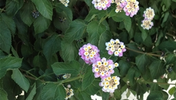 Utomhusväxt med gröna blad och flerfärgade blommor.
