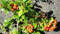 Buske med gröna blad och orangea blad.