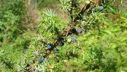 Taggig buske med blå bär.