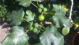 Krukväxt med stora gröna blad och ätbara frukter.
