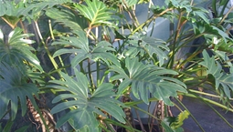 Stor krukväxt med stora flikiga blanka gröna blad.