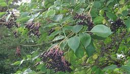 Träd med gröna blad och klasar med många små svarta bär.