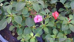 Krukväxt med gröna blad och röda blommor.