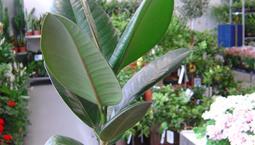 Krunväxt med stora blanka blad.