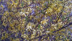 Buske med gula bladliknande blommor.