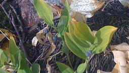 Växt med liljekonvaljliknande blad och blåa bär.