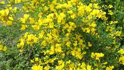 Buske med många gula blommor.