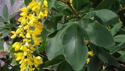 Buske med gröna blad och gula blomklasar.