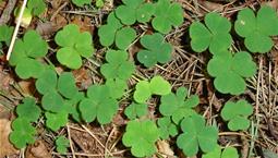 Klöverliknande gröna blad.