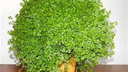 Krukväxt med många mycket små gröna blad.
