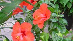 Krukväxt med gröna blad och stora röda blommor.