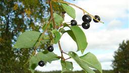 Kvist från ett träd med görna blad och svarta bär.