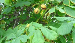 Träd med stora gröna blad och halvöppen kastanj.