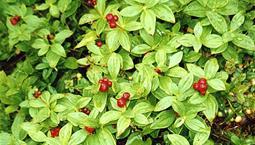Växt med gröna blad och röda bär.