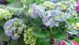 Krukväxt med stora blå blommor.