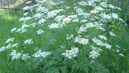 Fockblommig växt med vita blommor.