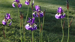 Utomhusväxt med stor lila blomma.