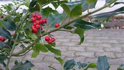 Buske med blanka torniga blad och röda bär.