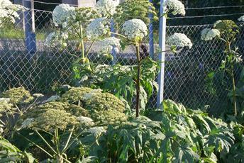 Stor vit flockblommig växt