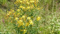 Utomhusväxt med gröna blad och gula blommor.