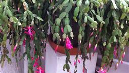 Hängväxt med ledade blad och rosa blommor.