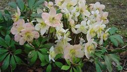 Växt med gröna blad och vita blommor