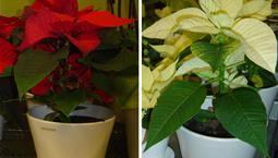 En kruväxt med gröna blad och röda kronblad samt en med vita kronblad.