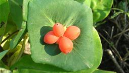 Grönt blad och oreagea bär
