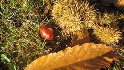 Visset blad och en ätlig kastan och dess hölje.