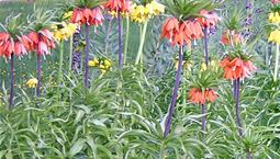 Hög växt med gula och röda blommor.